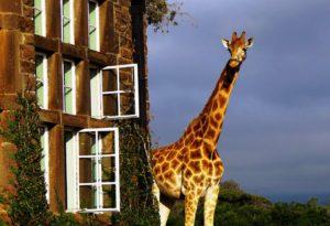 Giraffe-Manor-Hotel-Giraffe