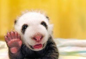 baby-panda-photo
