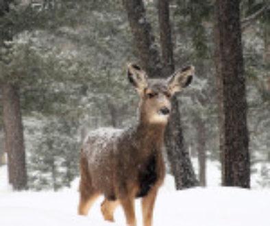 deer2-150x150